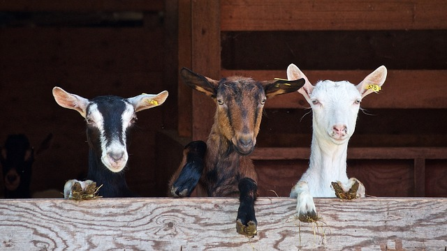 Health Benefits Of Goat Yoga Empower Health Insurance