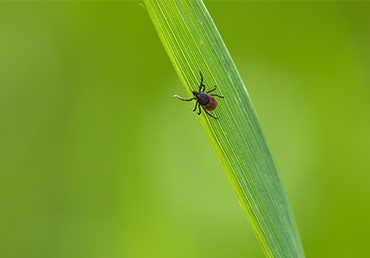 Ticks can spread the blood parasite known as Babesia